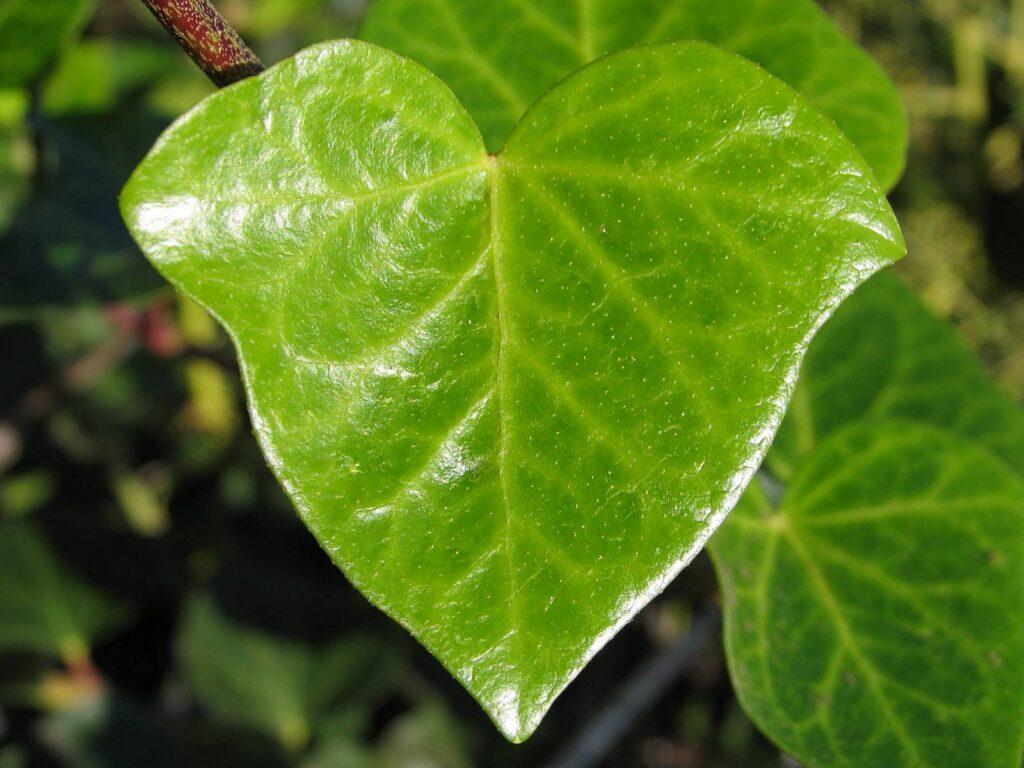 Листья плюща содержат лекарственные вещества