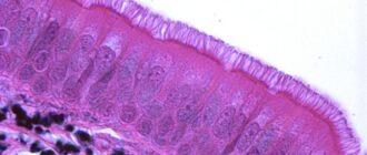Эпителий: плоский, цилиндрический, железистый, функции, патологии